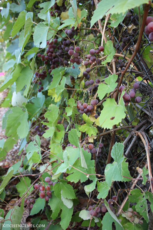 grapes-on-our-grape-vine | KitchenCents.com